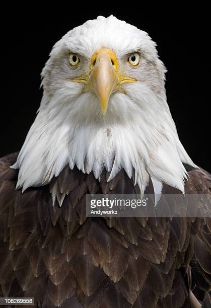 bald eagle (haliaeetus leucocephalus) - eagle stock pictures, royalty-free photos & images