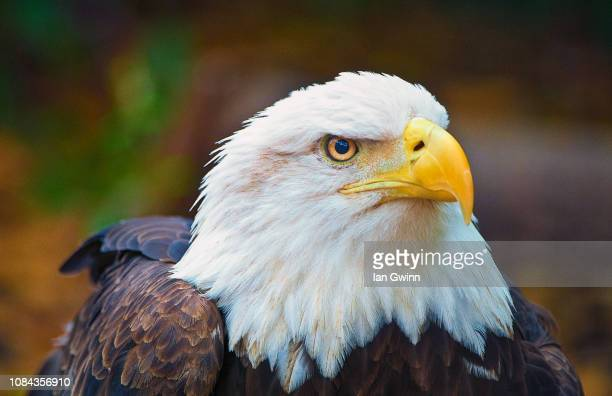 bald eagle - ian gwinn stock photos and pictures