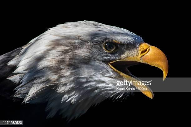 bald eagle - raubvogel stock-fotos und bilder