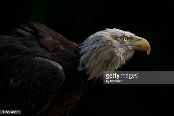 bald eagle - beak stock pictures, royalty-free photos & images