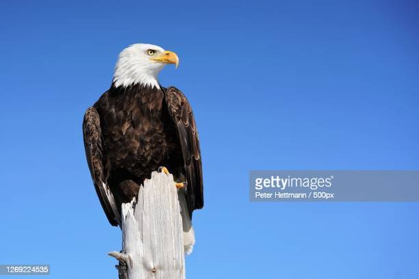 a bald eagle - perching stock pictures, royalty-free photos & images