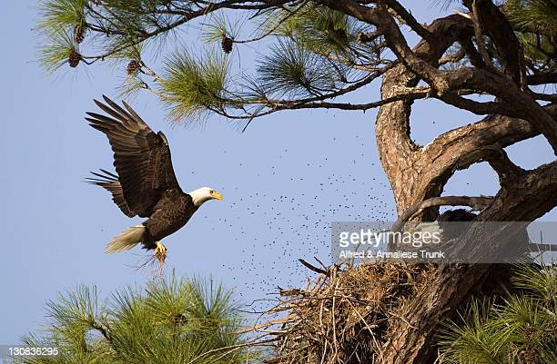bald eagle (haliaeetus leucocephalus) - eagle nest stock photos and pictures