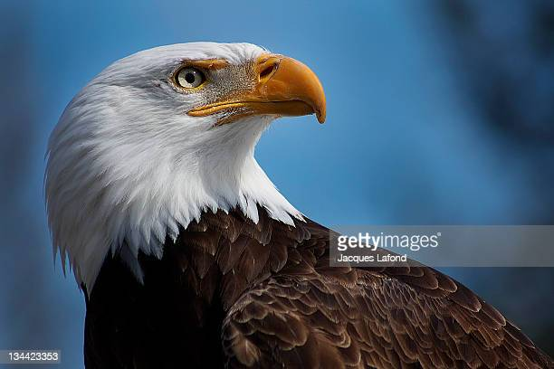 bald eagle - bald eagle stock pictures, royalty-free photos & images