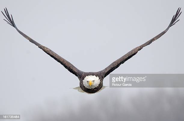 bald eagle - rolour garcia stock pictures, royalty-free photos & images