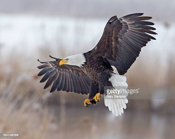 bald eagle - spread wings stock pictures, royalty-free photos & images