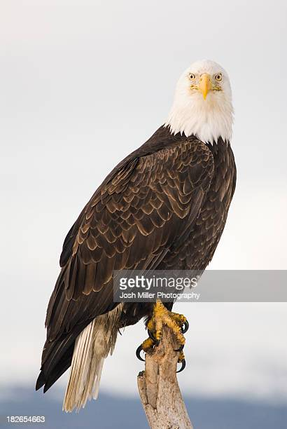 bald eagle (haliaeetus leucocephalus) - perching stock photos and pictures