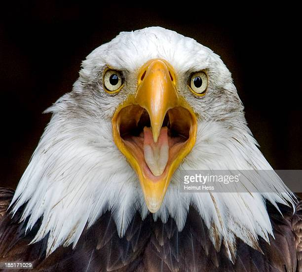 bald eagle - eagle stock pictures, royalty-free photos & images