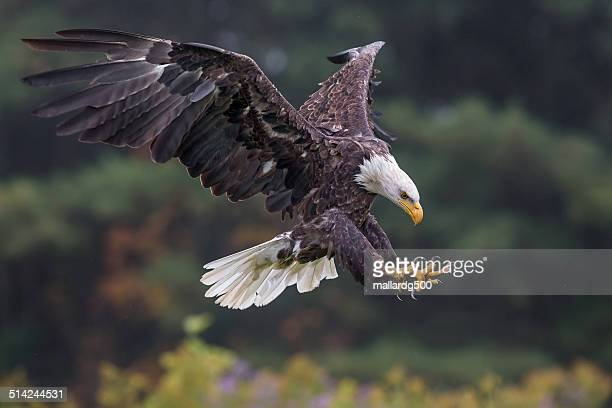 bald eagle - animals attacking stock pictures, royalty-free photos & images