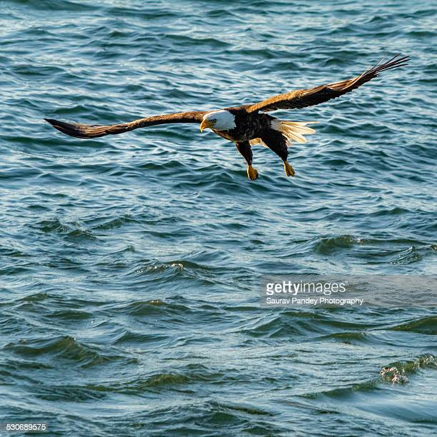 bald eagle - diving to the ground stock pictures, royalty-free photos & images