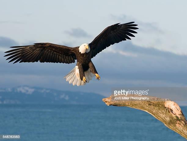 bald eagle (haliaeetus leucocephalus) - home run ストックフォトと画像