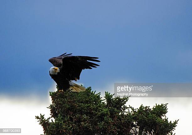 bald eagle - eagle nest stock photos and pictures