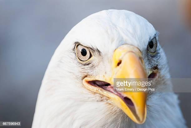 bald eagle (haliaeetus leucocephalus) - emery stock photos and pictures