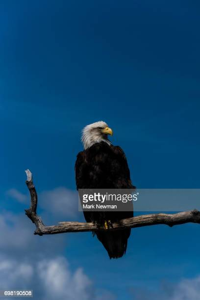bald eagle - snag tree stock pictures, royalty-free photos & images