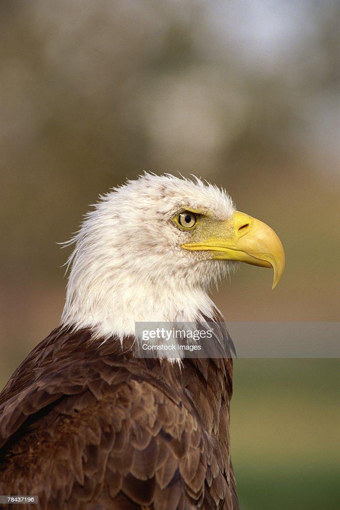 Bald eagle : Foto de stock