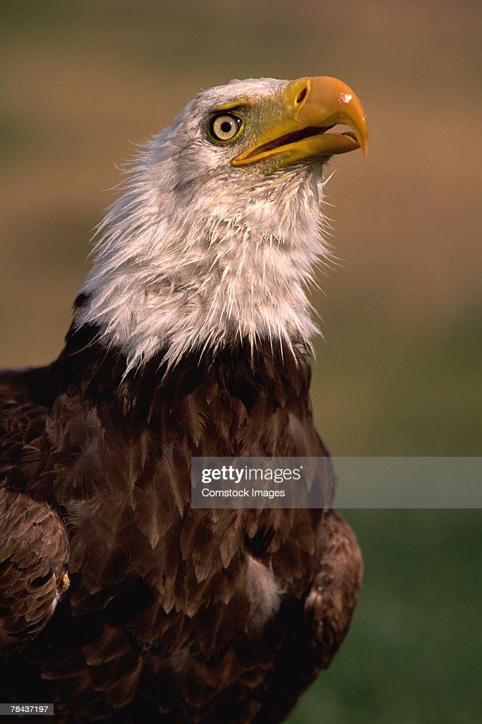 Bald eagle : Stockfoto