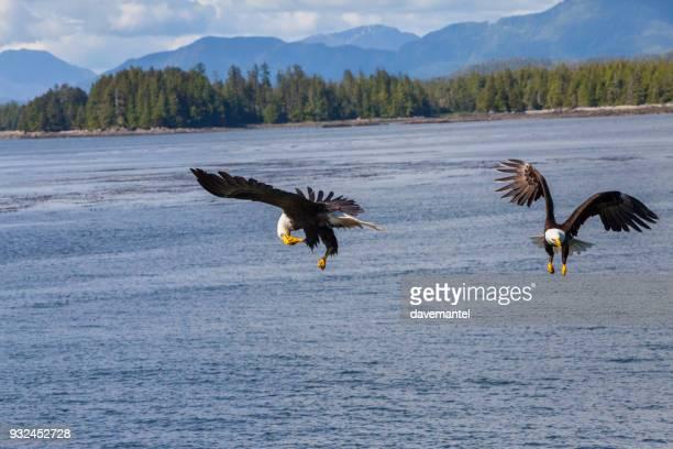 Weißkopfseeadler Eagle