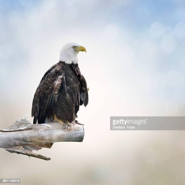 bald eagle - svetlana stock photos and pictures