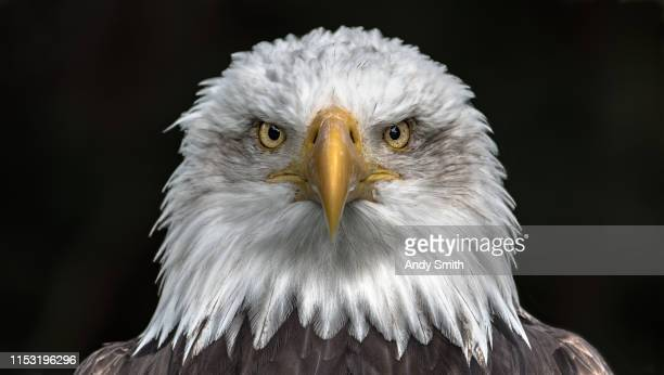 bald eagle portait - beak stock pictures, royalty-free photos & images