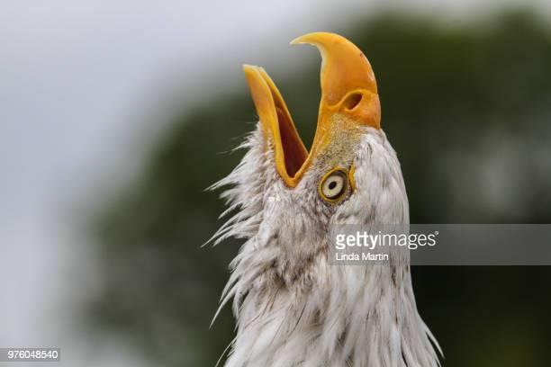 bald eagle (haliaeetus leucocephalus) portrait - beak stock pictures, royalty-free photos & images