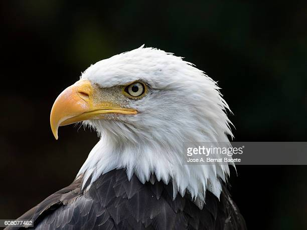 Bald eagle (Haliaeetus leucocephalus),  portrait. Pyrenees, France.