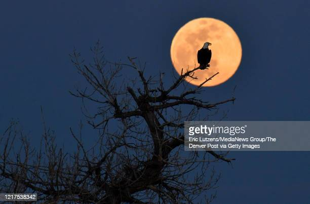 A bald eagle sits near its nest while the super pink moon rises in the distance at Chatfield State Park in Littleton Colorado on Tuesday April 7 2020...