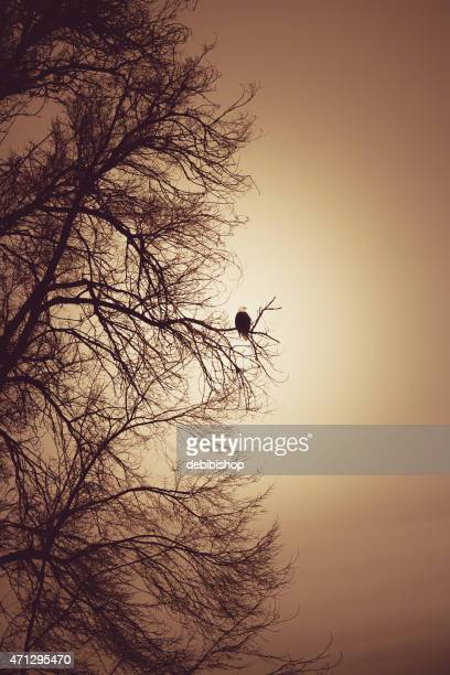 Águila calva sentado en el árbol latente Silueta de ramas de noche
