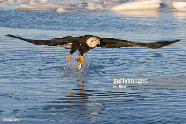 bald eagle snatching a fish from the water - home run ストックフォトと画像