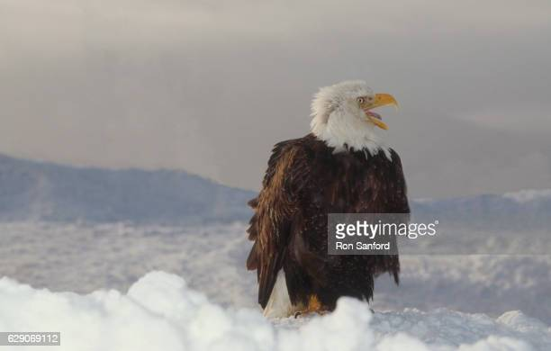 bald eagle snow protest! - kachemak bay stock pictures, royalty-free photos & images