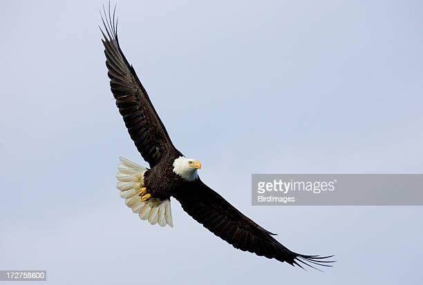 Bald Eagle - Soaring, Alaska