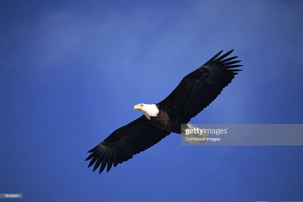Bald eagle soaring , Alaska : Stockfoto