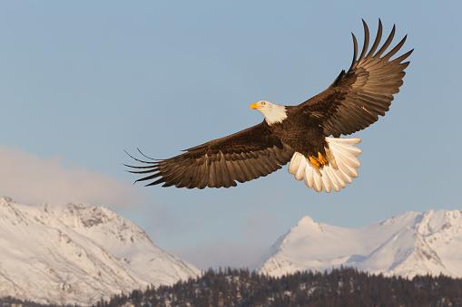 Bald Eagle Soaring Over Mountains 117146368