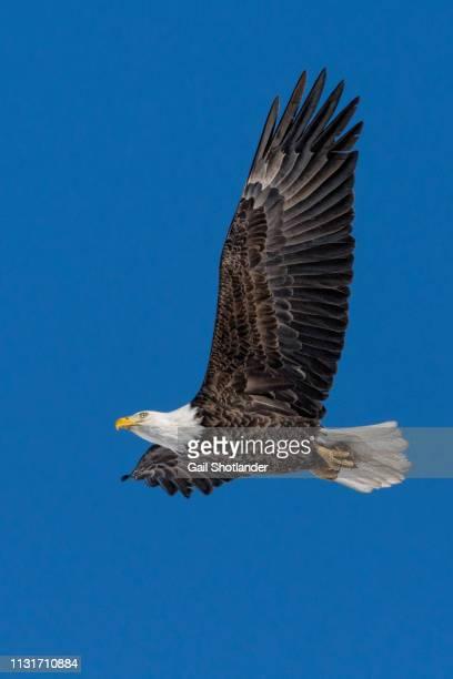 Bald Eagle Soaring