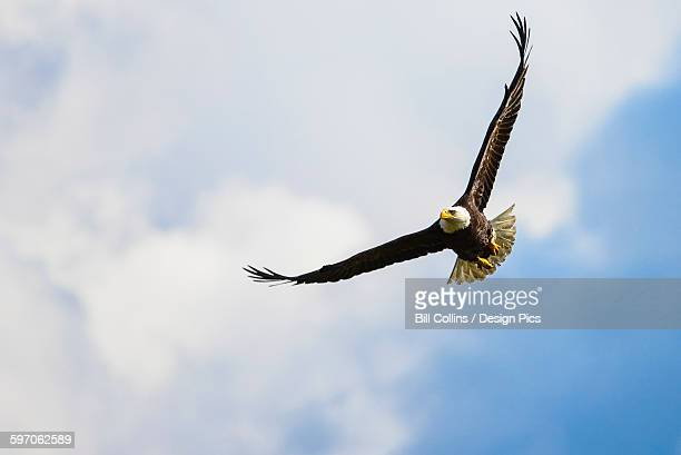 A bald eagle (Haliaeetus leucocephalus) soars over the Serpentine River looking for fish