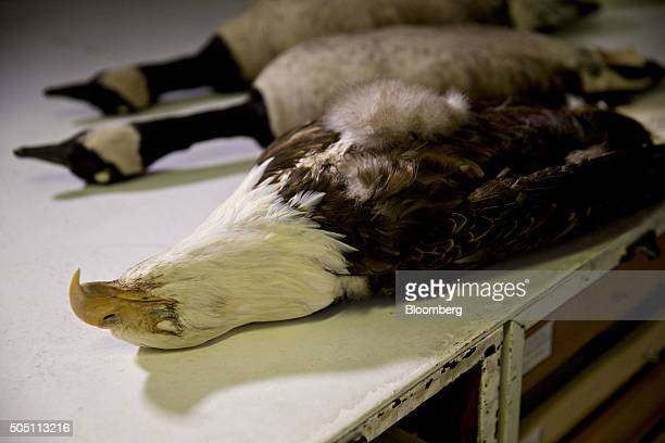 A bald eagle specimen sits on a table in the feather identification lab at the Smithsonian Institutions's National Museum of Natural History feather...