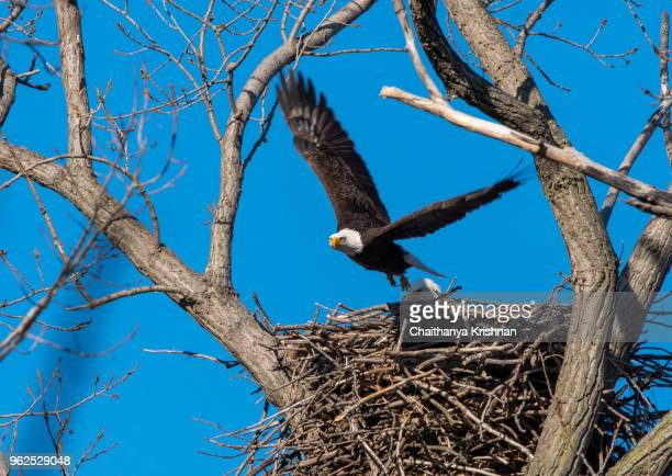 bald eagle spending time near the nest inside magee marsh wildlife area - eagle nest stock photos and pictures