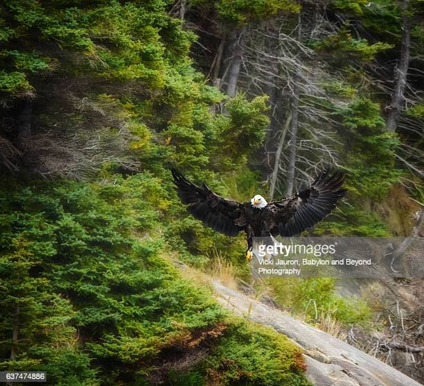 bald eagle spreads wings and lands near ingonish in cape breton island, nova scotia - cape breton island stock pictures, royalty-free photos & images