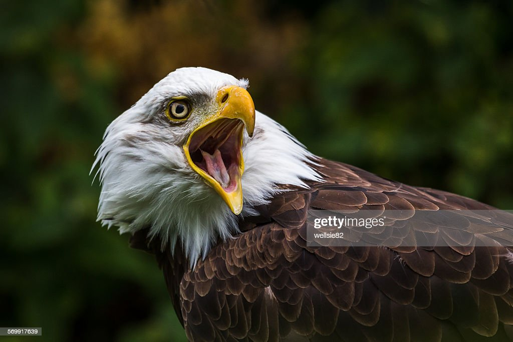 Bald Eagle squawking : Stock Photo