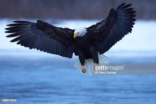 bald eagle swooping over water - diving to the ground stock pictures, royalty-free photos & images