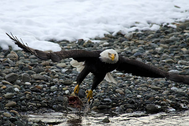 Bald Eagle Taking Off From River Wall Art