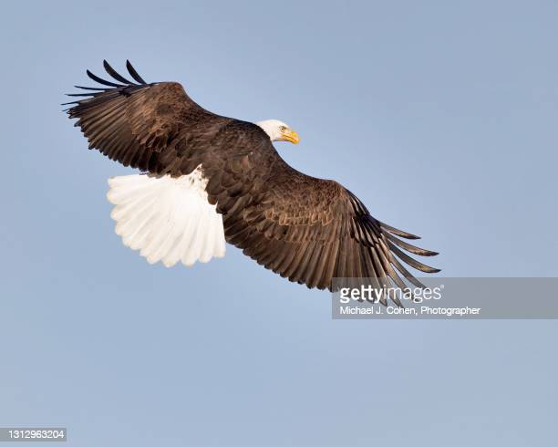 bald eagle topside - spread wings stock pictures, royalty-free photos & images