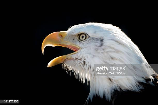 bald eagle viii - cranston rhode island stock photos and pictures