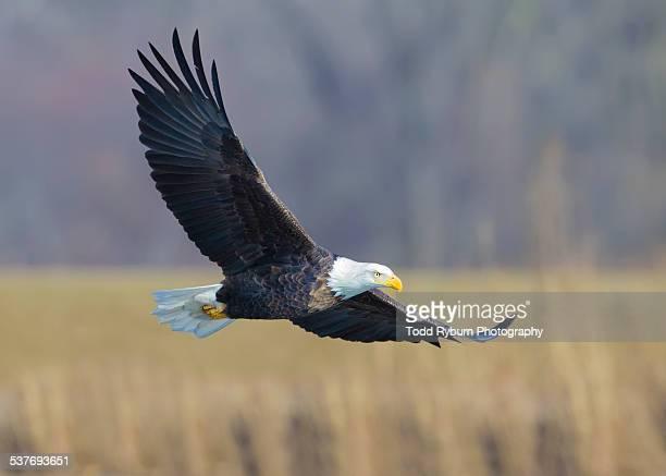 Bald Eagle - Wheat Field