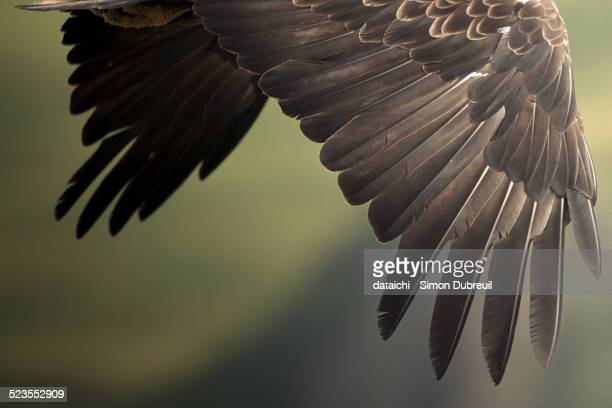Bald Eagle wings
