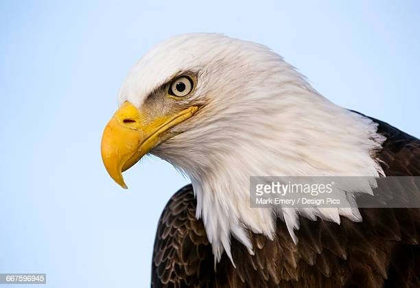 bald eagle (haliaeetus leucocephalus) with a blue sky background - emery stock photos and pictures