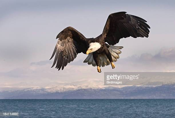Bald Eagle with Alaskan Mountain Background