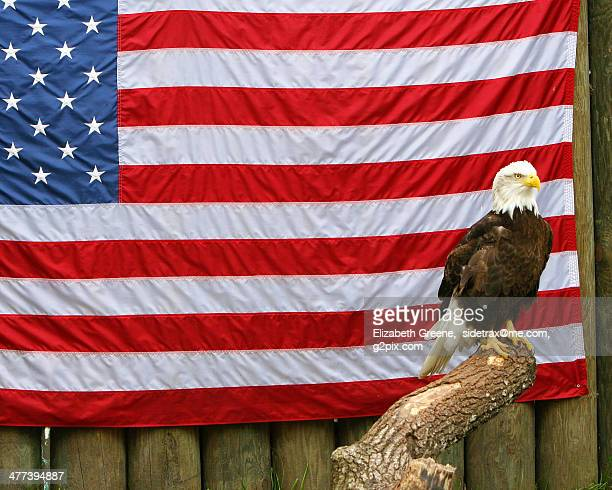 bald eagle with american flag - bald eagle with american flag stock pictures, royalty-free photos & images