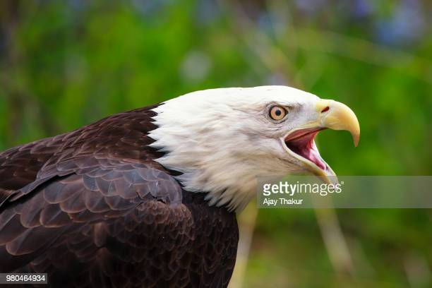 bald eagle with beak open - snavel stockfoto's en -beelden