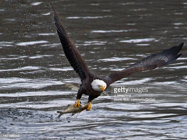 Bald eagle with large fish