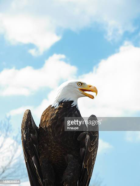 weißkopfseeadler mit offenen schnabel - schnabel stock-fotos und bilder