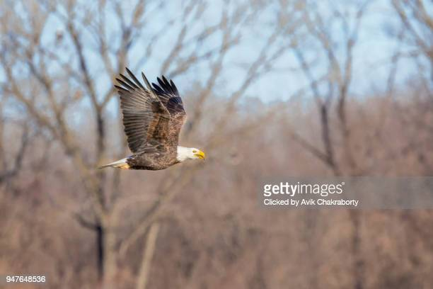 Bald Eagle with prey in mouth after hunting